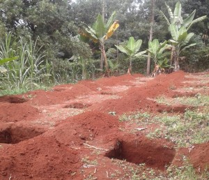 Fig 2: Dug-out holes for planting banana stems